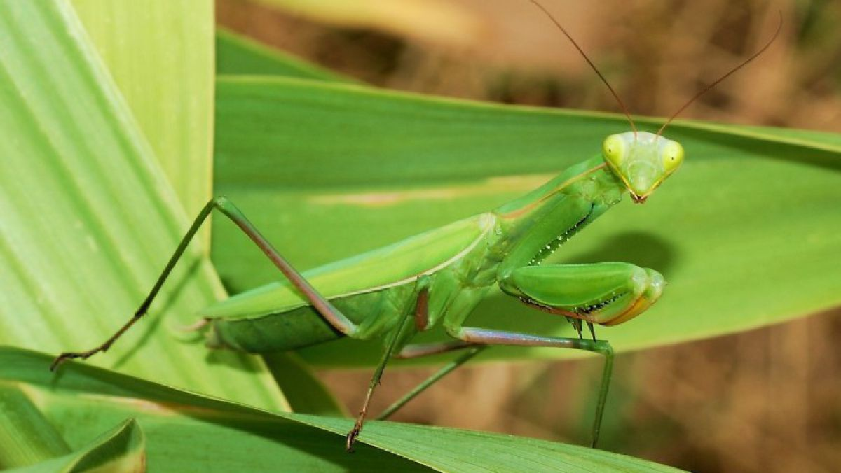 Mantid_August_2007-2